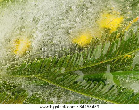 Mimosa In Ice