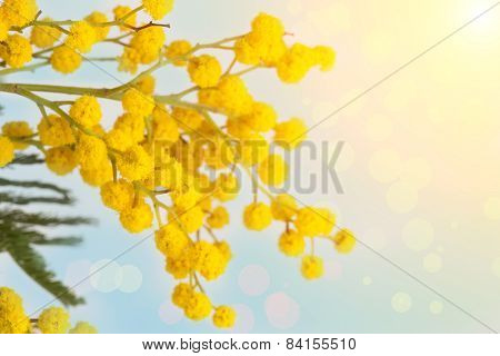 Branch Of The Blossoming Yellow Mimosa On A Color Background