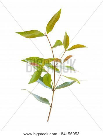 Nature Limb Leaf Isolated On White Background
