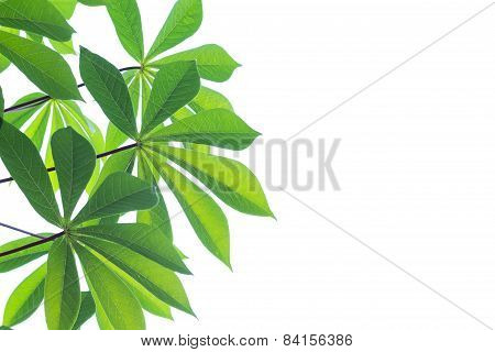 Green Leaf Limb Isolated On White Background