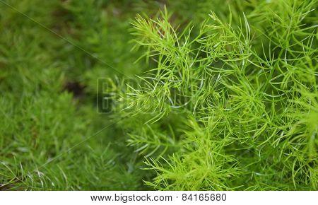 Asparagus Racemosus Willd