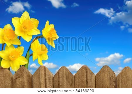 Daffodils, Fence And Blue Sky