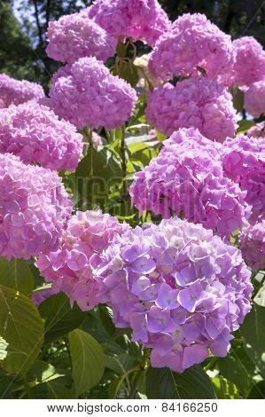 Blooming Pink Hortensia