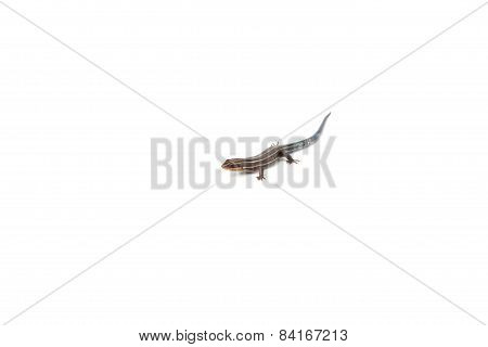 Blue Tailed Skink