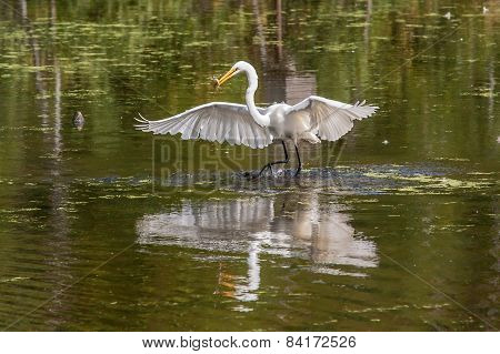 Snowy Egret With Lunch