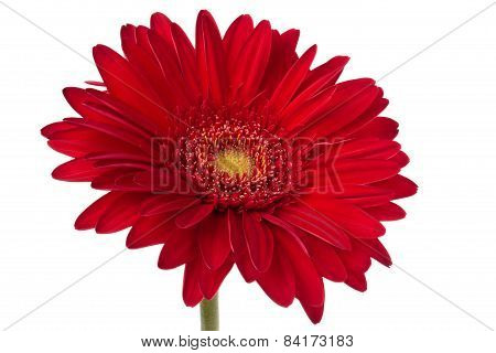 Fresh Gerbera Flower.