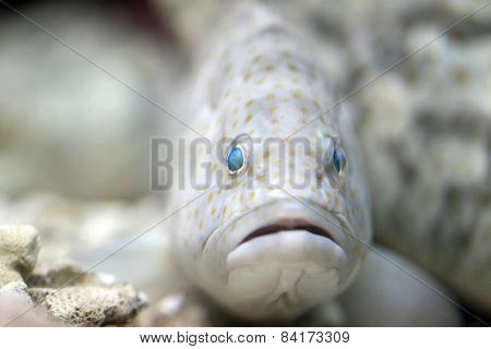 The Head Of Grouper Fish.