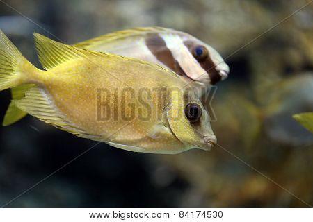 Focus On Sea Gourami Fish.