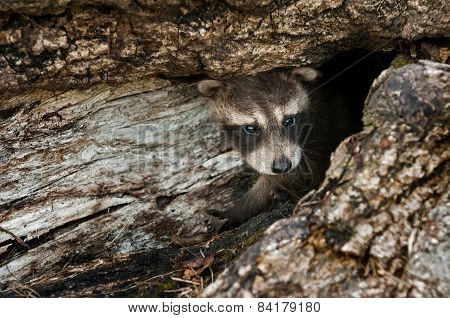 Baby Raccoon (procyon Lotor) Peeps Out Of Log