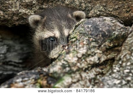 Baby Raccoon (procyon Lotor) Hides In Log