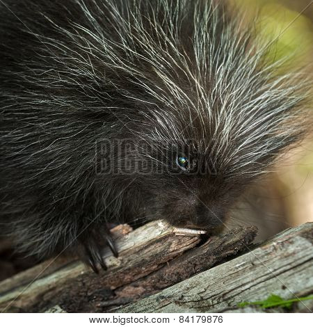 Porcupette (erethizon Dorsatum) Chews On Branch