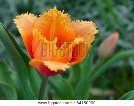 Fringed Tulip 'lambada'