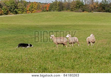 Stock Dog And Sheep (ovis Aries) Standoff