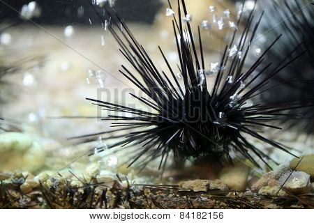 This Is A Sea Urchin.
