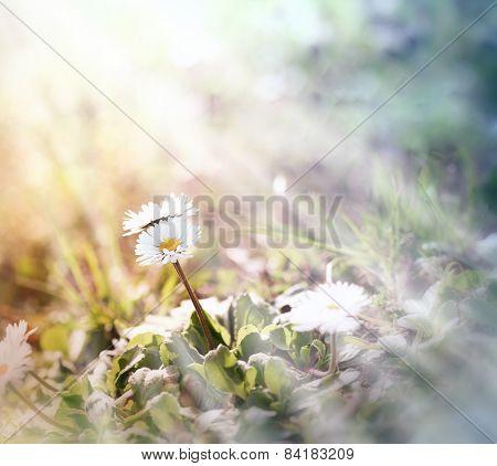 Little daisy (spring daisy) in meadow