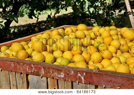 Large Boxes Filled With Lemons