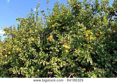 Lemon Tree With Leaves And Fruits On Blue Sky Background