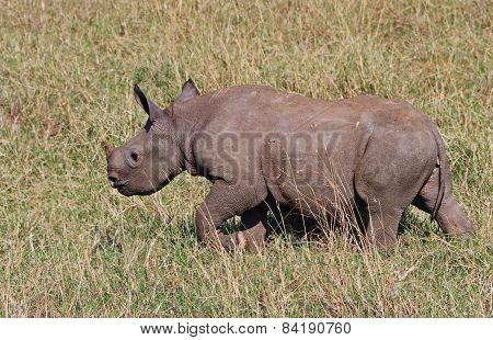 White, rhino calf on the plains of the masai mara