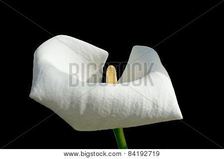 Single white calla flower