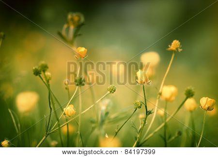 Buttercup (springtime)