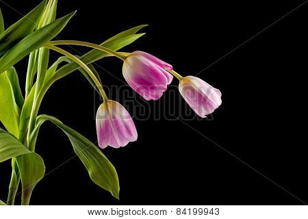 Beautiful Bouquet Of Tulips On A Black Background