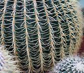 stock photo of cactus  - big cactus called Golden Barrel Cactus very dangerous - JPG