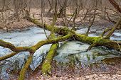 image of fallen  - Fallen tree with moss in the winter forest near the river - JPG