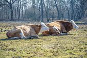 Photo of two cows lying.