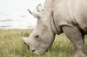 image of blood drive  - A young White Rhinocores grazes on some green grass by the lake - JPG