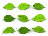 picture of tree leaves  - Set of Realistic Green Leaves Collection - JPG