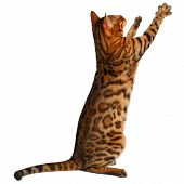 stock photo of paw  - bengal cat stand and raising up paw on white background - JPG