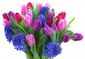 picture of bosoms  - bunch of blue hyacinth and tulip flowers close up isolated on white background - JPG