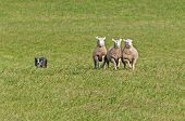 pic of sheep-dog  - Stock Dog Herds in Sheep  - JPG
