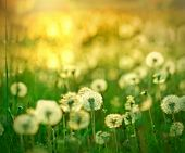 stock photo of dandelion  - Soft focus on dandelion seed  - JPG