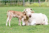 picture of calf cow  - Bull calf hugging mother cow in green pasture - JPG