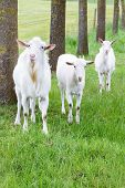 picture of goatee  - Three white goats standing on grass with tree trunks in nature landscape - JPG