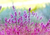 foto of lavender plant  - Beautiful lavender flowers close - JPG