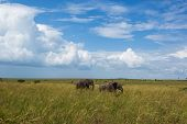 foto of tall grass  - Family of elephants - JPG