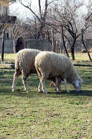 image of baby sheep  - Sheep herd grazing - JPG