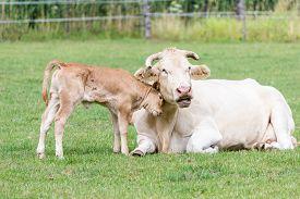 stock photo of calf  - Bull calf hugging mother cow in green pasture - JPG
