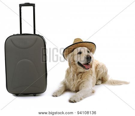 Cute Labrador in hat with suitcase isolated on white