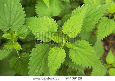 Nettle plant closeup in the forest