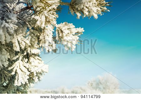 Hoarfrost And Snow On The Pine In Winter Forest