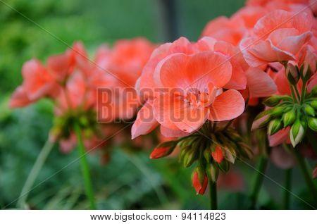 Pink Flowers In Closeup In Palmen Garten, Frankfurt Am Main, Hessen, Germany