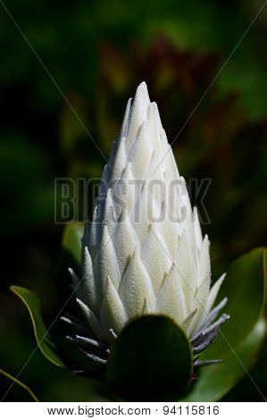 The white king protea plant (Cynaroides) the National Flower of South Africa closed moment before bloom.