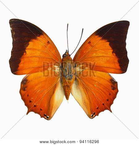Common Tawny Rajah Butterfly