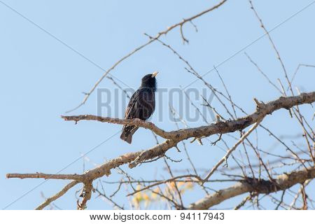 Spring Song Of Starling