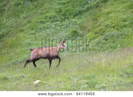 Grazing Chamois On The Meadow In The European Mountains