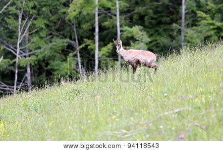 Chamois Grazing Meadows With Green Grass In Summer