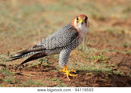 A red-necked falcon (Falco chicquera) sitting on the ground, Kalahari desert, South Africa